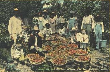 Denison TX Peach Pickers - Gathering and Packing Elberta Peaches