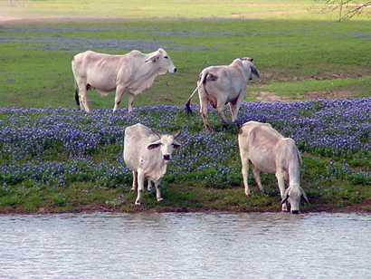 Texas - Bluebonnets and Brahma Cows