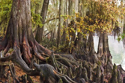 Cypress trees and roots, Caddo Lake, Texas