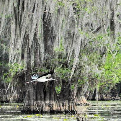 Uncertain Texas - Cypress, Spanish Moss and Wildlife