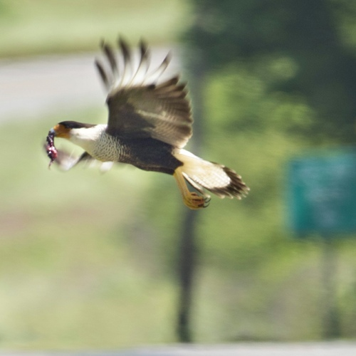 Crested Caracara in flight in East TX
