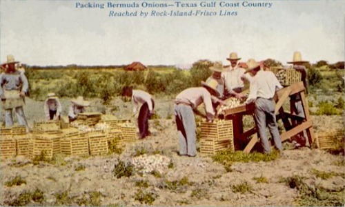 Packing Bermuda Onions - Texas Gulf Coast Country