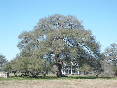 Sam Houston Oak, Texas historic tree