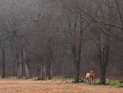 Lone cow in pasture near Canton, Texas