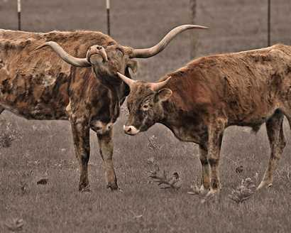 Texas longhorn and calf